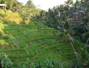 Рисовые Террасы Тегалаланг
